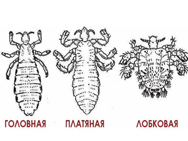 Как передаются вши и особенности их размножения